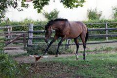 Saddex jagt ein Huhn auf der Koppel. www.galoppfoto.de