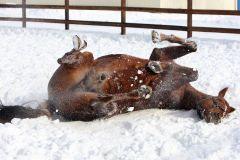 Kalatos wälzt sich im Schnee. www.galoppfoto.de - Frank Sorge