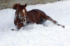 Kalatos im Schnee. www.galoppfoto.de - Frank Sorge