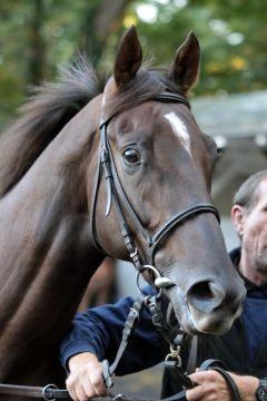 Amaron im Portrait. www.galoppfoto.de - Sandra Scherning