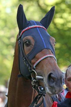 Bailley im Portrait. www.galoppfoto.de - Sabine Brose