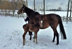 Das erste Fohlen von Amaron kam am 09. Januar 2017 zur Welt: Mutter Bella Amica ist selbst Listensiegerin und Schwester zum mehrfachen Gruppesicher Banyumanik. Foto: privat