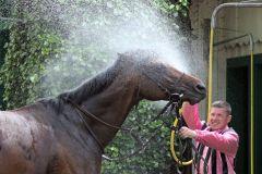 Unter der Dusche ... Silvaner wird nach seinem Münchner Sieg. www.galoppfoto.de - WiebkeArt