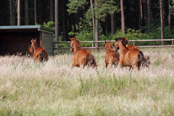 Jährlinge auf der Koppel. www.galoppfoto.de