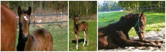 Il Divo (v. Dashing Blade a.d. Independent Miss) geb. am 07.03.2005, ist das erste Pferd aus eigener Zucht...